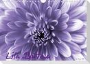 Lila Blüten (Wandkalender 2021 DIN A4 quer)