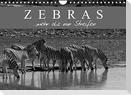 Zebras - Mehr als nur Streifen (Wandkalender 2022 DIN A4 quer)