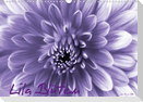 Lila Blüten (Wandkalender 2021 DIN A3 quer)